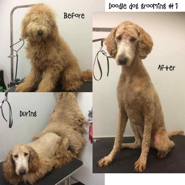 How Often Do Goldendoodles Need To Be Groomed