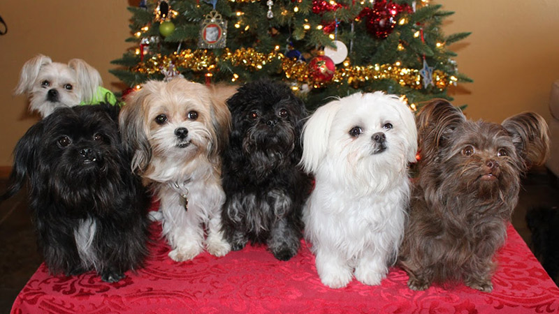 Mi-ki dogs have a variety of coat colors and ear sets