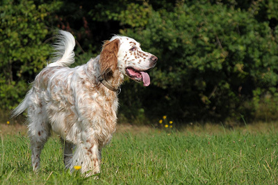 Meet the Breed: The English Setter | BaxterBoo