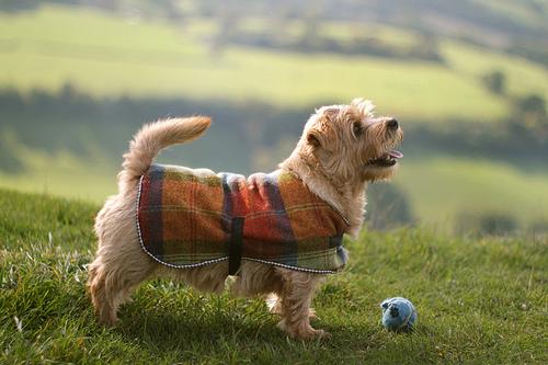 Meet the Breed: The Norfolk Terrier | BaxterBoo