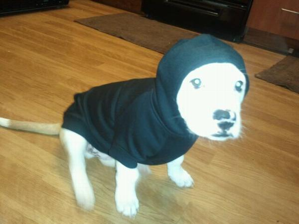 Jet Black Boxer Dog