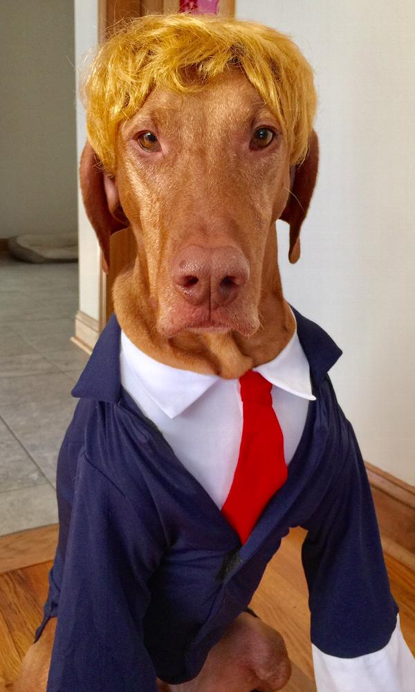 Vizsla Halloween Costume Party Animals Top 10 Halloween Costume