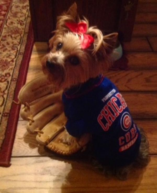 best loved 3055d 1b5dc Chicago Cubs Dog T-Shirt - Blue