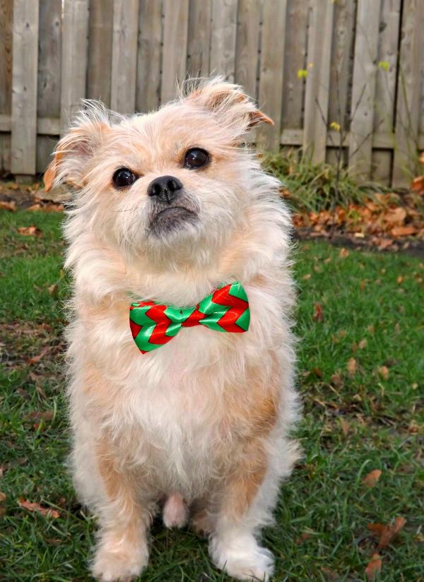 Christmas Chevron Dog Bow Tie with Same Day Shipping | BaxterBoo