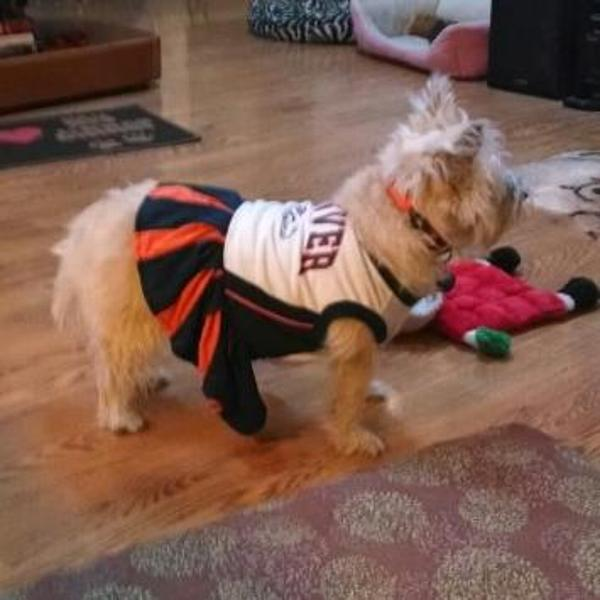 Denver Broncos Cheerleader Dog Dress Customer Photos - Send us your photo!  Maya 7558cf758