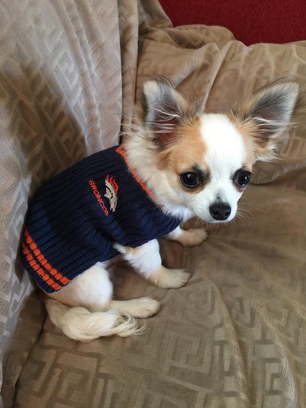 quality design bd02a 6c0fc Denver Broncos Dog Sweater