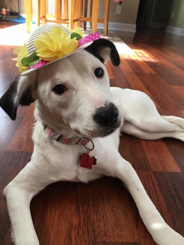 Easter Bonnet Dog Hat With Same Day Shipping Baxterboo
