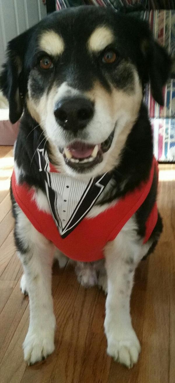 Formal Tuxedo Dog Bandana Baxterboo