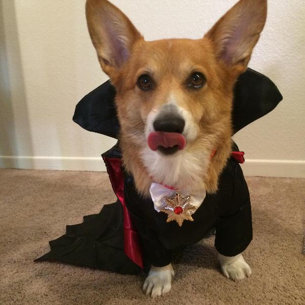 halloween dracula dog costume baxterboo