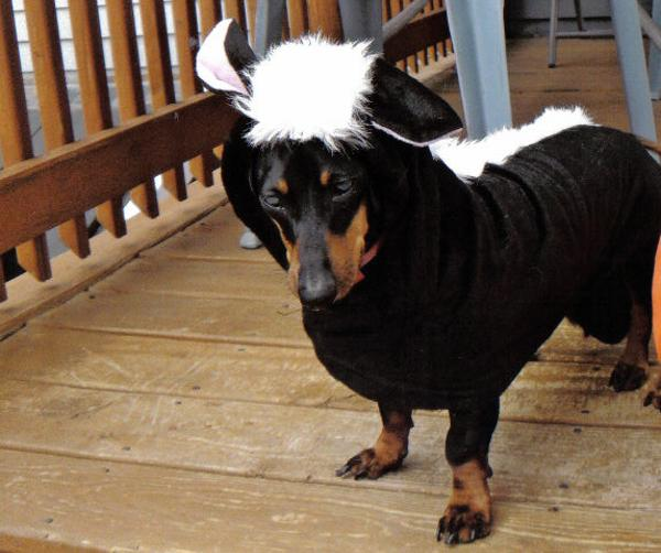 Lil' Stinker Skunk Dog Halloween Costume with Same Day Shipping ...
