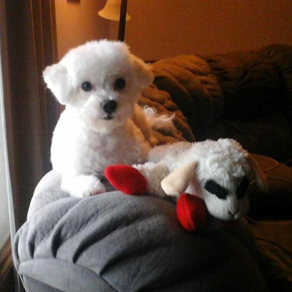 lamb chop dog toy large