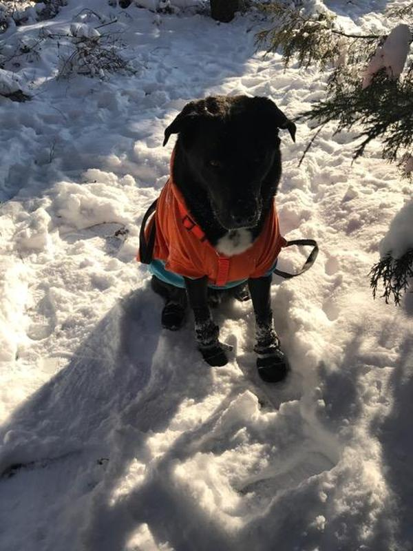 8a1b22fea2 Muttluks All-Weather Dog Boots - Black Customer Photos - Send us your  photo! bear