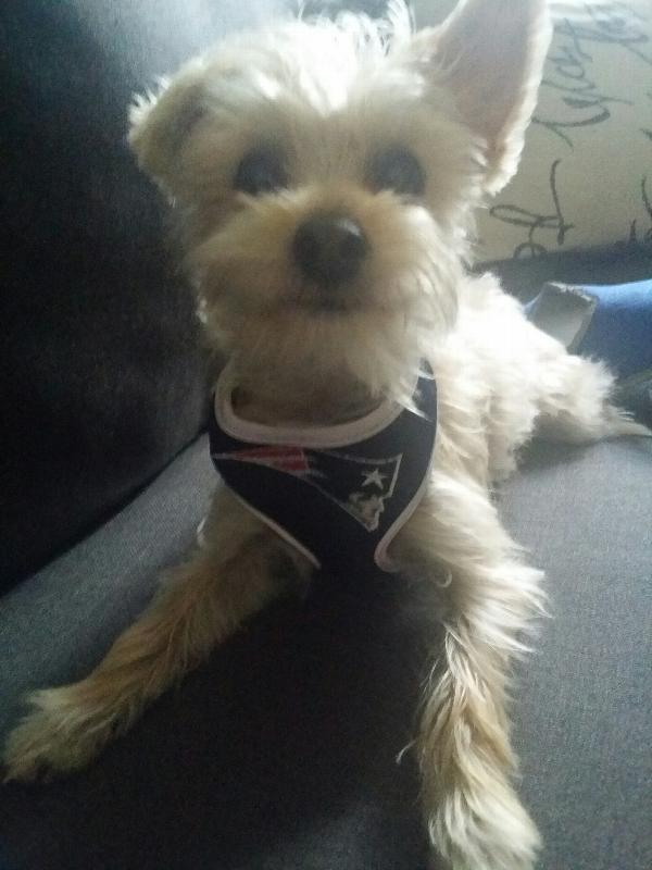 04d53dca New England Patriots Dog Harness Customer Photos - Send us your photo! Louie