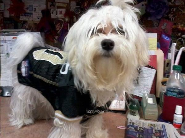ccbd58456 ... New Orleans Saints Officially Licensed Dog Jersey - Gold Trim Customer  Photos - Send us your ...