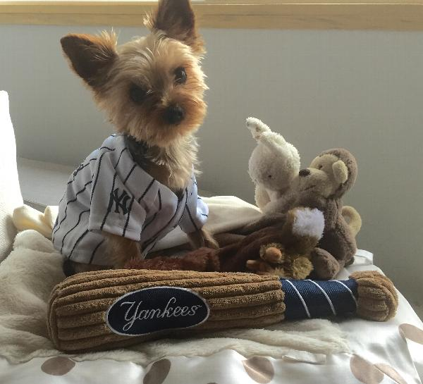 New York Yankees Officially Licensed Dog Jersey - Pinstripe Customer Photos  - Send us your photo! Mr. Paolo Luca c79c2a3a3b2