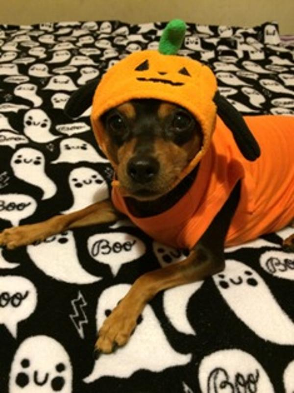 pumpkin-dog-hat-by-dogo-21291.jpg