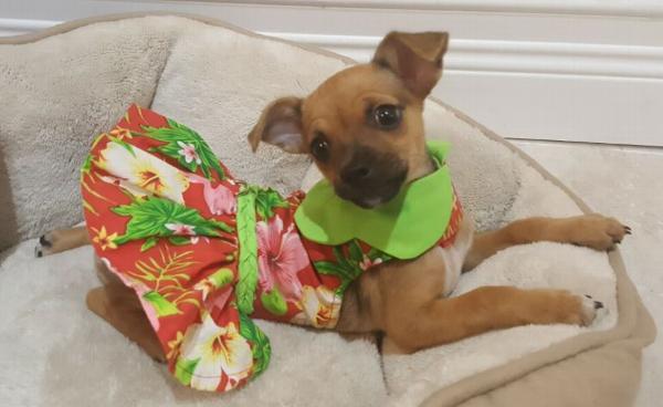 51867c901813 Red Hawaiian Hibiscus Designer Dog Harness Dress by Doggie Design Customer  Photos - Send us your photo! Gertrude