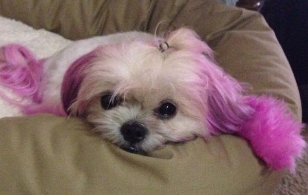 Top Performance Dog Hair Dye Gels with Same Day Shipping   BaxterBoo
