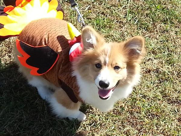 turkey dog costume with same day shipping baxterboo