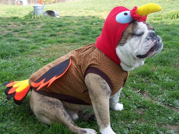 Dozer & Turkey Dog Costume with Same Day Shipping | BaxterBoo