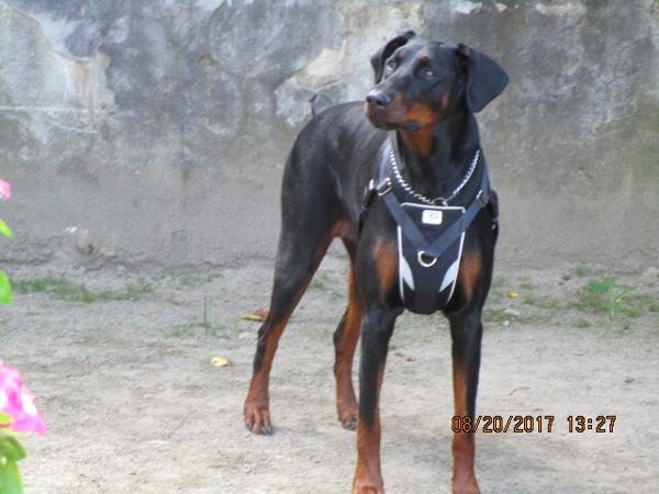 Ultimate Control Dog Harness by Canine Equipm... | BaxterBoo