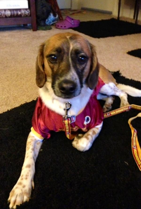 Washington Redskins Officially Licensed Dog Jersey - Gold Colored Trim  Customer Photos - Send us your photo! Bruno b518bc7b5