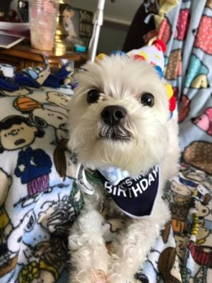 It S My Birthday Dog Bandana Scarf Navy Baxterboo