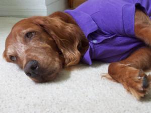 Polo Dog Shirt Ultra Violet Baxterboo