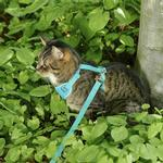 View Image 2 of Adventure Kitty Cat Harness with Leash by RC Pet - Teal