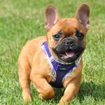 View Image 1 of American River Hawaiian Trim Choke-Free Dog Harness by Doggie Design - Paisley Purple