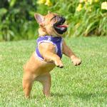 View Image 3 of American River Hawaiian Trim Choke-Free Dog Harness by Doggie Design - Paisley Purple