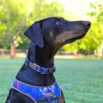 View Image 2 of Cloak & Dawggie Dog Collar - Denim Splash