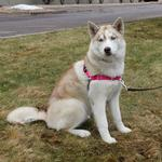 View Image 5 of Easy Walk Nylon Harness by PetSafe - Raspberry/Grey