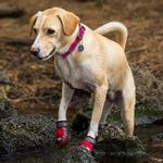 View Image 2 of Grip Trex Dog Boots by RuffWear - Red Currant with Gray Trim