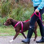 View Image 2 of Primary Step-in Dog Harness - Raspberry