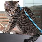 View Image 2 of Kitty RC Cat Leash - Raccoon