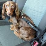 View Image 2 of Seatbelt Strap Dog Car Leash by Doggie Design