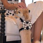 View Image 2 of Tinkie Dog Harness with Windsor Nouveau Bow & Trim by Susan Lanci - Black