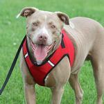 View Image 4 of Worthy Dog Sidekick Dog Harness - Red