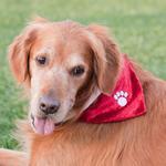 View Image 3 of ZippyPaws Holiday Paw Dog Bandana - Red